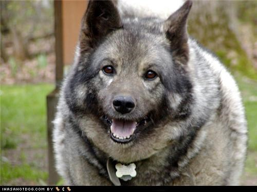 camera happy norwegian elkhound posing smile smiling themed goggie week - 4624595968
