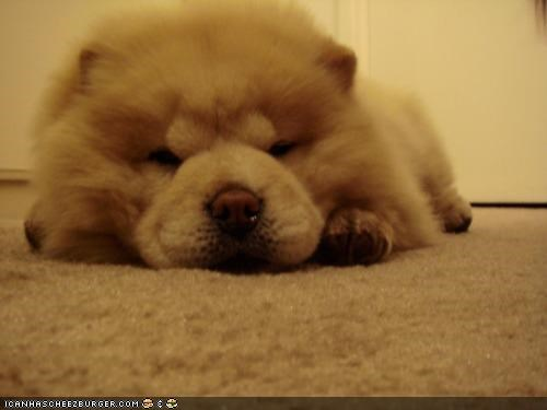 after asleep chow chow chow cyoot puppeh ob teh day eating nap napping noms pun puppy sleeping tired - 4625063424