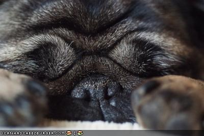 asleep cyoot puppeh ob teh day pug puppy sleeping tired zzz - 4625072896