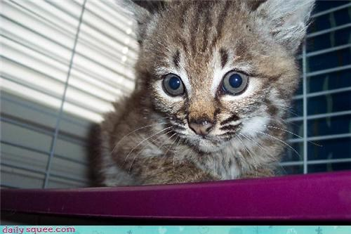 baby blue blue eyes bobcat cub eyes gaze pull squee spree Staring tractor beam