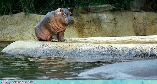 baby hippo hippopotamus poise posing pretty reward sitting sitting pretty trained treat trick