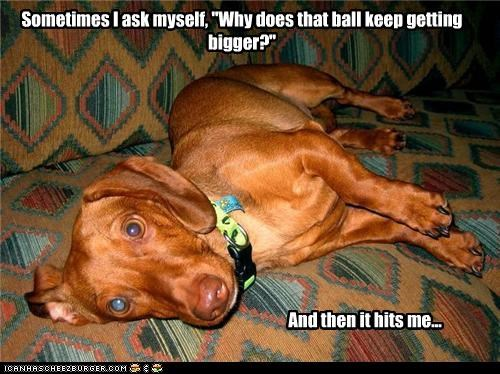 answer,ball,bigger,confused,dachshund,getting,perspective,pun,question