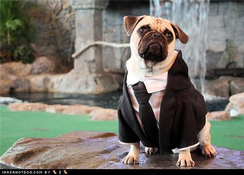 dressed up fancy pugs suit - 4628342272