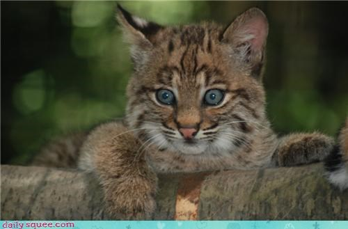 baby,bobcat,cub,distracted,do want,resisting,squee spree,squirrel,Staring,urge