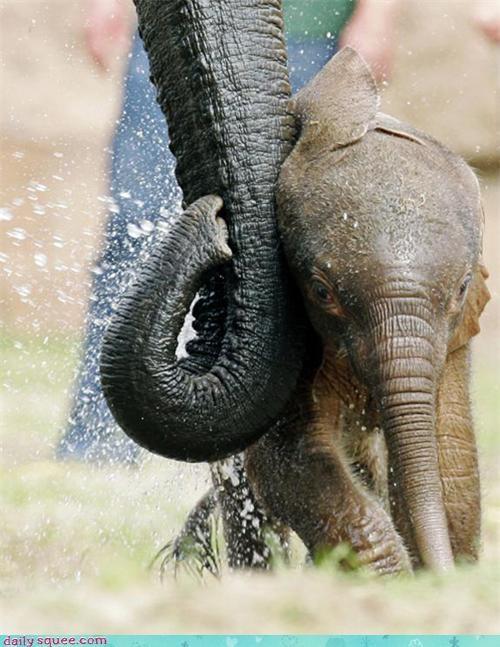 action baby cuddling elephant elephants nuzzle parent recipe success trunk - 4629209088