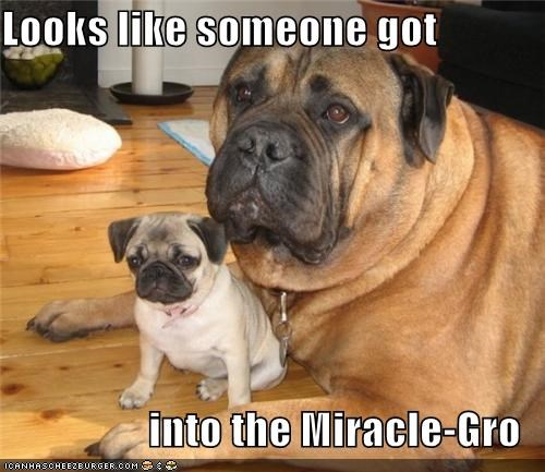 accident after before fertilizer giant got Growing into little mastiff miracle-gro pug someone