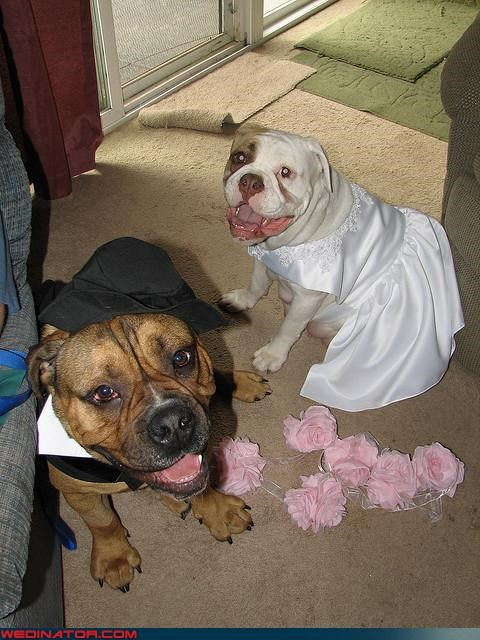 bride dog wedding dogs funny wedding photos groom - 4632393472