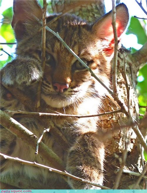 baby,bobcat,cub,end,goodbye,hanging,squee spree,tree,waving