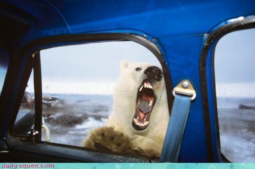 acting like animals,afraid,bear,classic,Command,fear,lolcats,order,polar bear,shouting