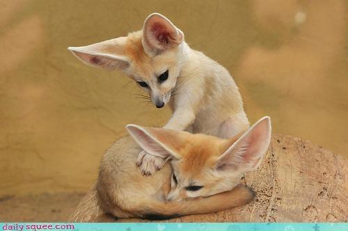 Babies baby contest coyote coyotes cub fennec fennec fox fennecs poll squee spree - 4632689664