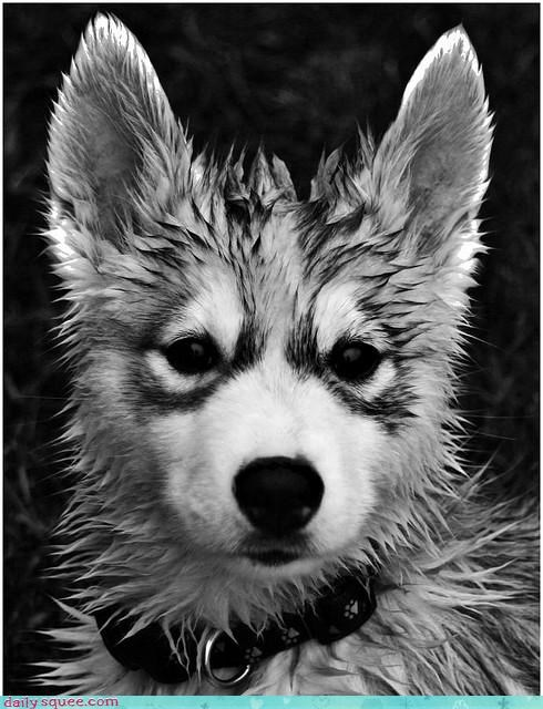 black and white cute cuteness dogs husky paralyzed puppy soaking soggy wet - 4632723200
