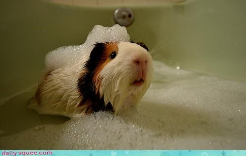bath bath time bathing bubbles disgruntled do not want guinea pig idea suggestion