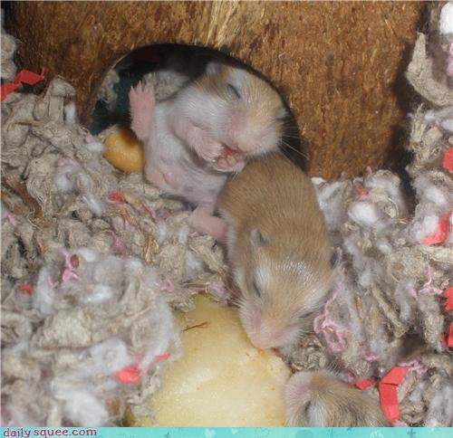 12 age baby days dwarf hamster excited fun hamster happy juice licking old oops pear reader squees upside down - 4633335296
