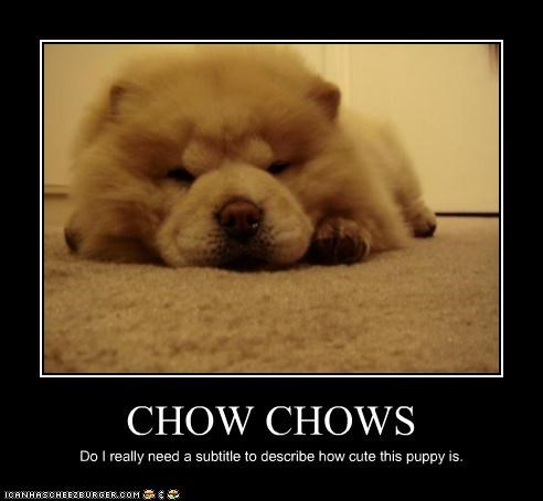 CHOW CHOWS Do I really need a subtitle to describe how cute this puppy is.