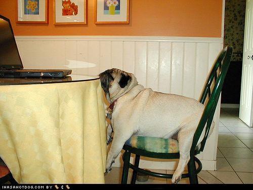 bored pug Sad table wait - 4634923008