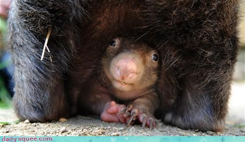 acting like animals baby cover detective hiding pun under undercover Wombat wombats - 4636143104