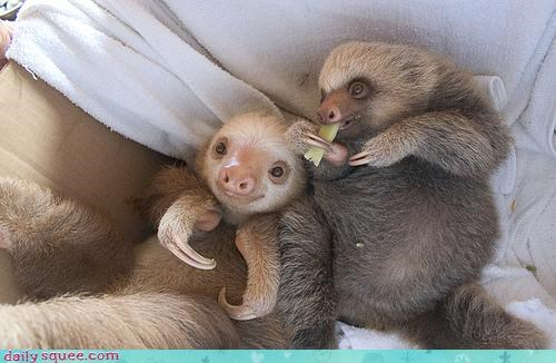 Babies,baby,Hall of Fame,noms,omnomnom,sloth,sloths