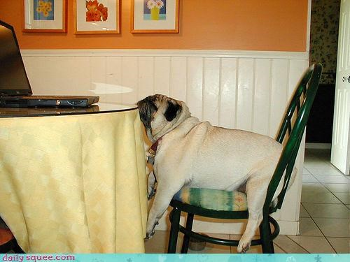 breakfast,do not want,falling asleep,happy sundog,kitchen,pug,sleepy,sluggish,sunday,Sundog,table,tired,waking up