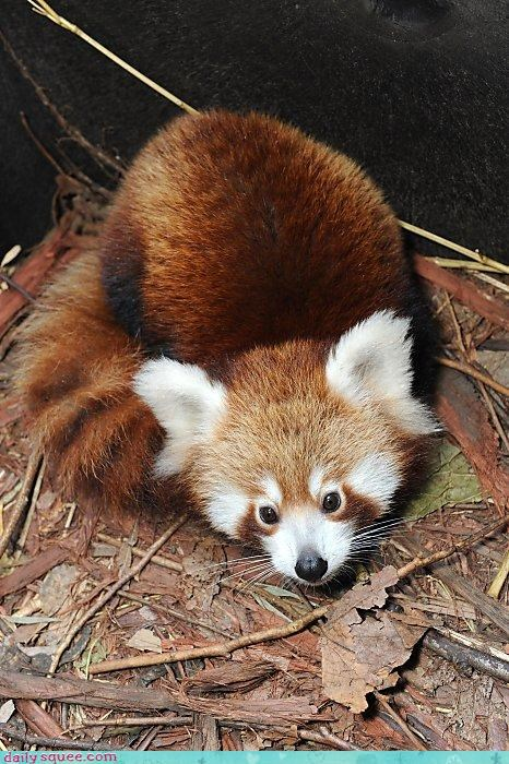 eyes gaze gazing hypnotic hypnotized red panda Staring
