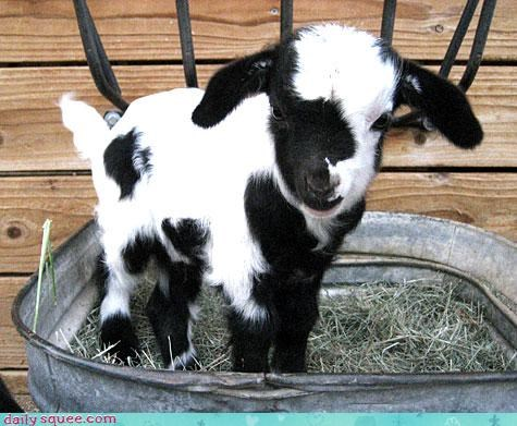 baby bucket calf colored confused cow goat meme milk sitting sounds tub - 4636524032