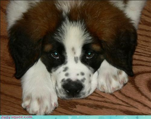 dogs face puppy puppy eyes reader squees saint bernard terror