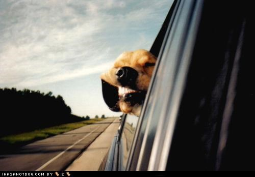 car dogs fun mouth smile wind window - 4644363008