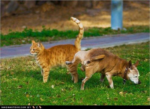 cat chihuahua goggie grass kitteh kittehs r owr friends kitty marmalade pee - 4645738752