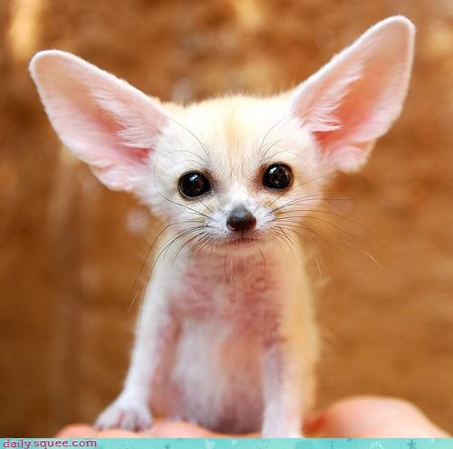 baby,complete,cub,embodiment,fennec,fennec fox,fox,ideal,package,perfect,squee spree,Staring
