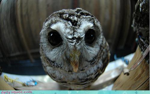 butler door fisheye gatekeeper guarding knocker Owl peeking peephole - 4646124288