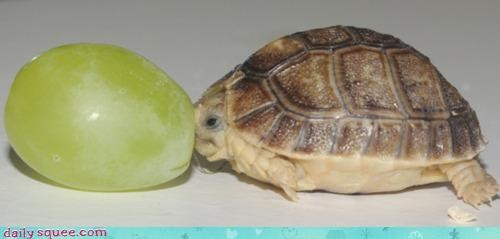 adorable baby eating egyptian tortoise grape Hall of Fame itty bitty nomming noms size tiny tortoise - 4648505088