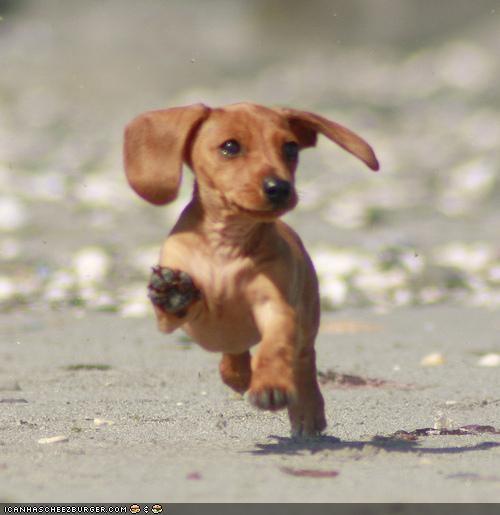 beach cyoot puppeh ob teh day dachshund ears frolic play run - 4648859136