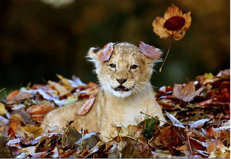 cub cute lion cub leaves - 4648965