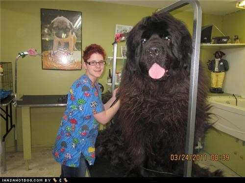 black,dogs,giant,groomer,hairy,mixed breed,newfoundland,tongue,whatbreed