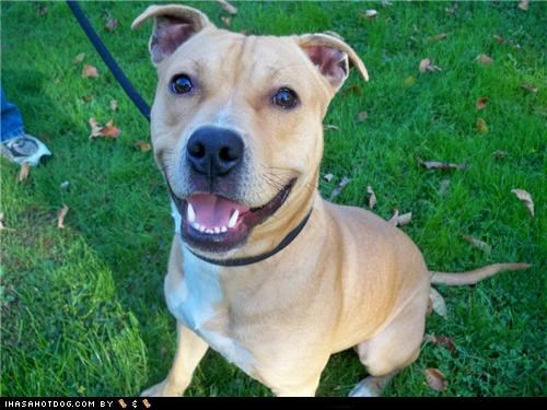 Austin goggie ob teh week grass pitbull smiley tan - 4652012288