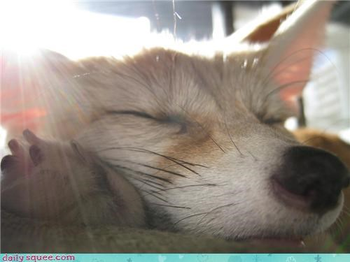 baby close up closeup fennec fennec fox sleeping squee spree zoom zoomed in