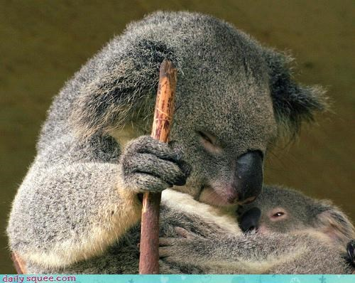 baby child cub cuddling instinct koala koalas mother Multitasking protecting protection - 4652786944