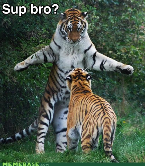animals animemes bro come at me Memes nerd standing up sup tiger - 4655029760