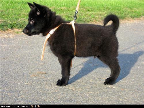 basset hound goggie breed ob teh week norwich terrier poll portuguese water dog schipperke - 4655204352