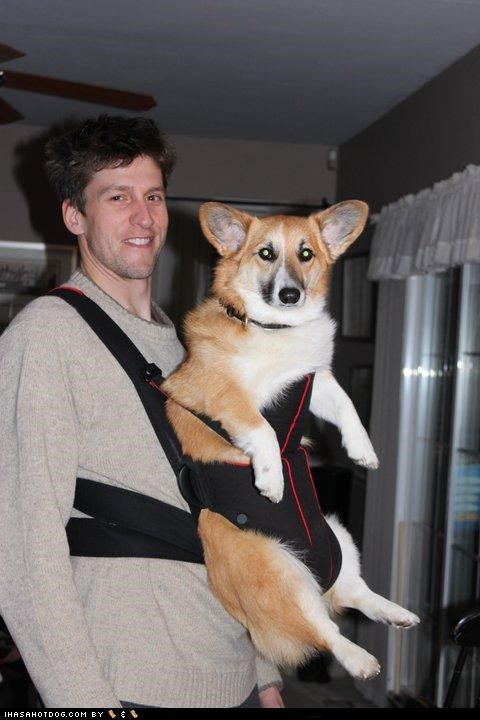 baby,baby bjorn,carry,corgi,man,owner