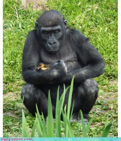 acting like animals buddies cuddling doesnt duck duckling explanation friends gorilla interspecies friendship justification matter size - 4656264448