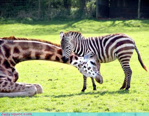 different forbidden love giraffes heart Interspecies Love love one patterns play romeo and juliet two william shakespeare zebra