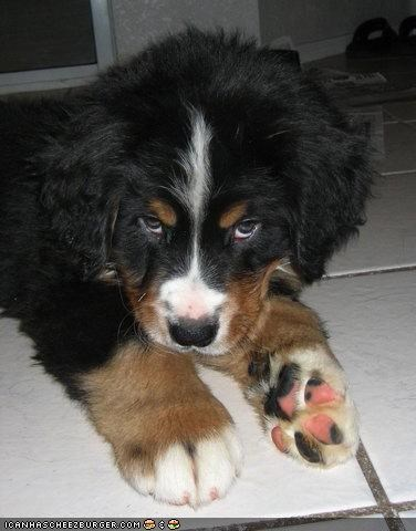 bernese mountain dog,cyoot puppeh ob teh day,flirty,puppy