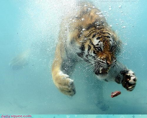 acting like animals,bargaining,begging,chasing,diving,do want,nom,swimming,tiger,underwater,upset,water