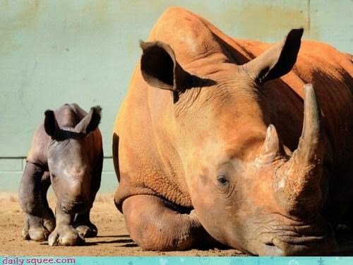 baby calf drawn inexact parent proportion proportions rhino rhinoceros rhinos scale science