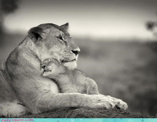 baby cub cuddling lion mother perfect Pillow preference sleeping - 4663354624