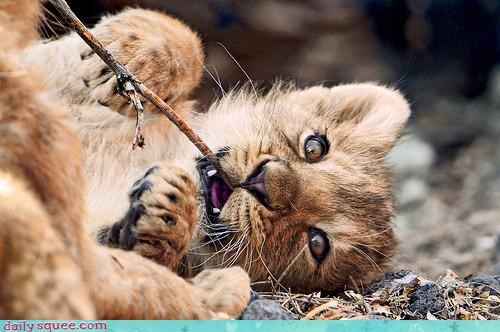 baby cub do not want fan gnawing lion literalism mud nomming not stick - 4663367168