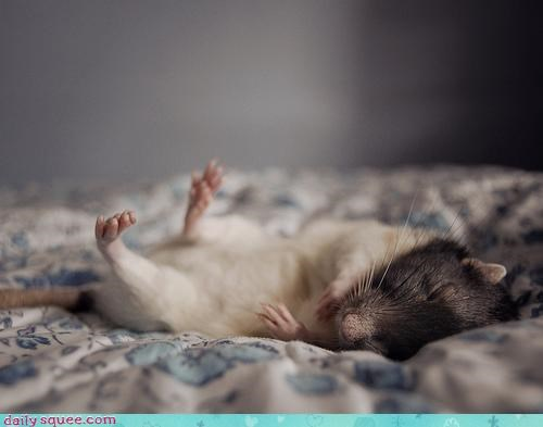 adage advice asleep button clock do not want rat sleeping sleeping in snooze waking up