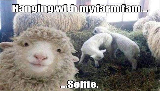 Funny Black Sheep Meme : I can has cheezburger sheep funny animals online cheezburger