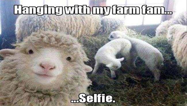 sheep memes, funny sheep, animals