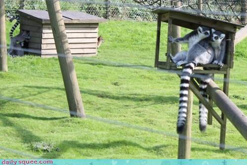 acting like animals confused cuddling do not understand lemur lemurs love mocking rhyme romance sitting taunting - 4666618880